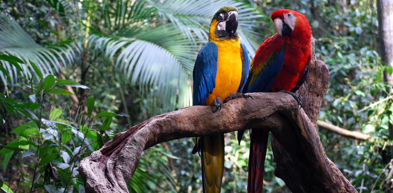 amazonie  couple perroquets