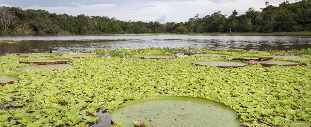 Amazonie nénuphars géants