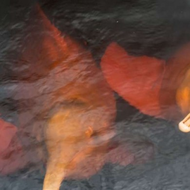 dauphin d'eau douce Amazonie