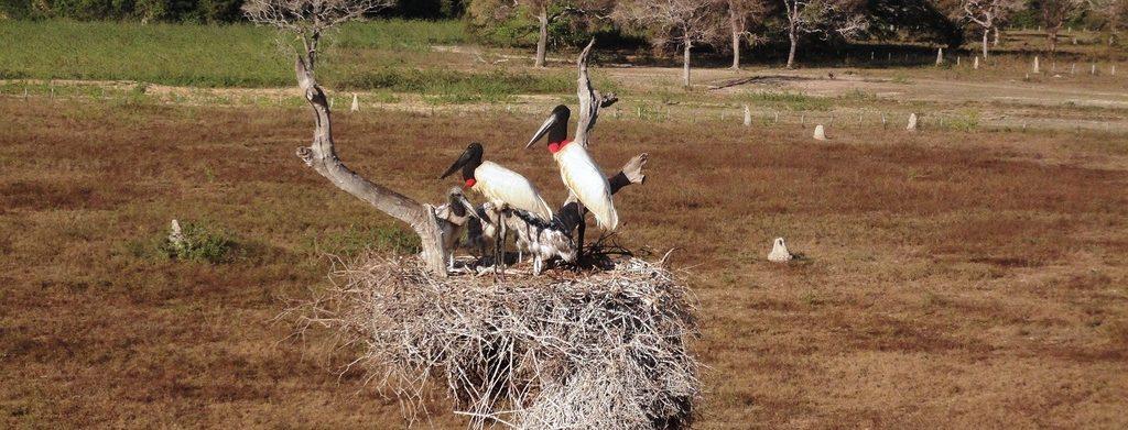 Jabiru du Pantanal