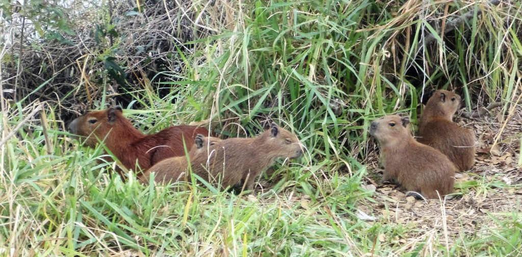 Pantanal capivaras en groupe