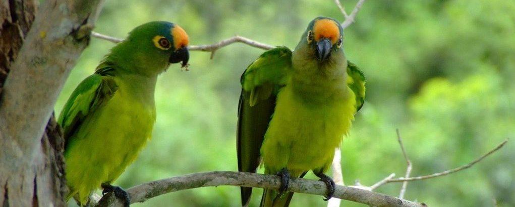 Pantanal-Cuiaba-Perroquet (1)