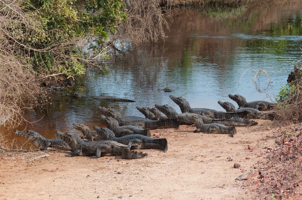 Pantanal Jacares au bord d'une mare