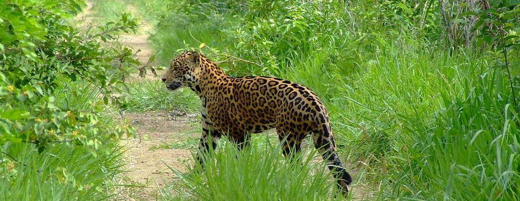 Pantanal - Jaguar