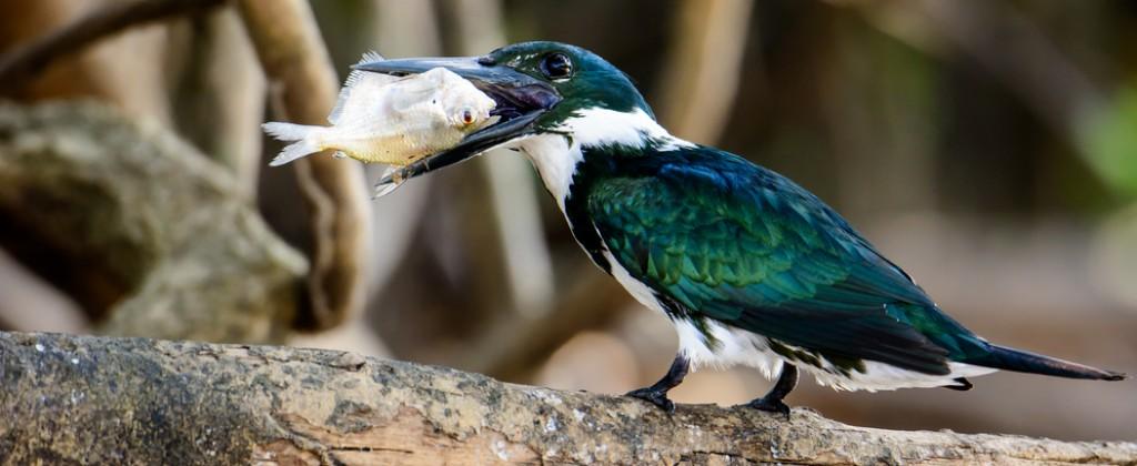 Pantanal_Oiseau vert et blanc