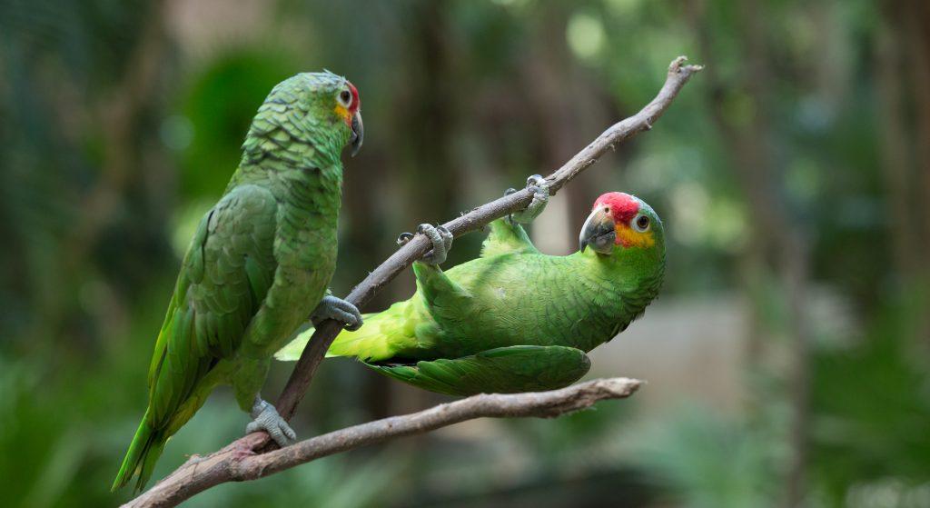 Pantanal perroquets jouant sur une branche