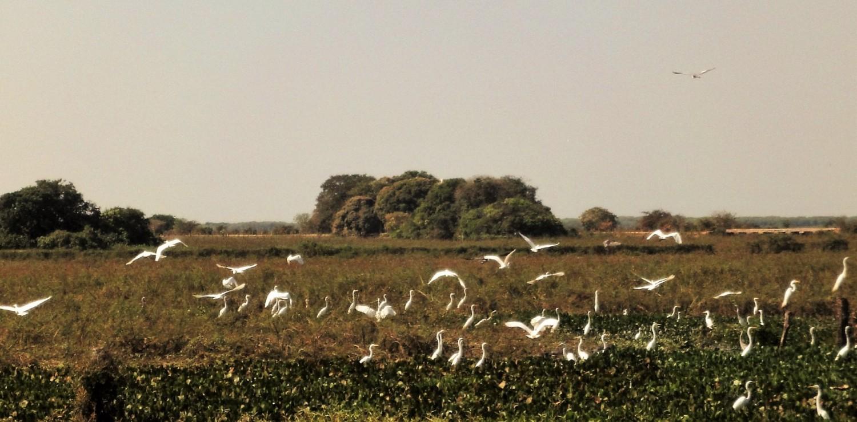 Pantanal  troupe d'échassiers
