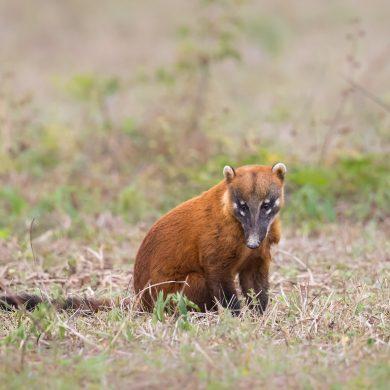 Petit rongeur Pantanal