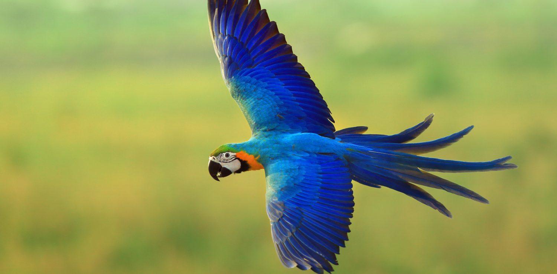 Amazonie le survol de l'Ara bleu