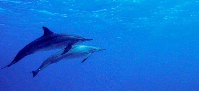 dauphins sous l'eau Fernando de Noronha