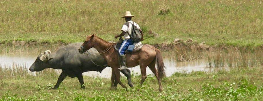 buffle et cow-boy Ile de Marajo