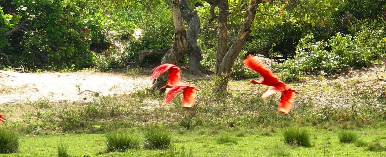 ibis rouges Marajo