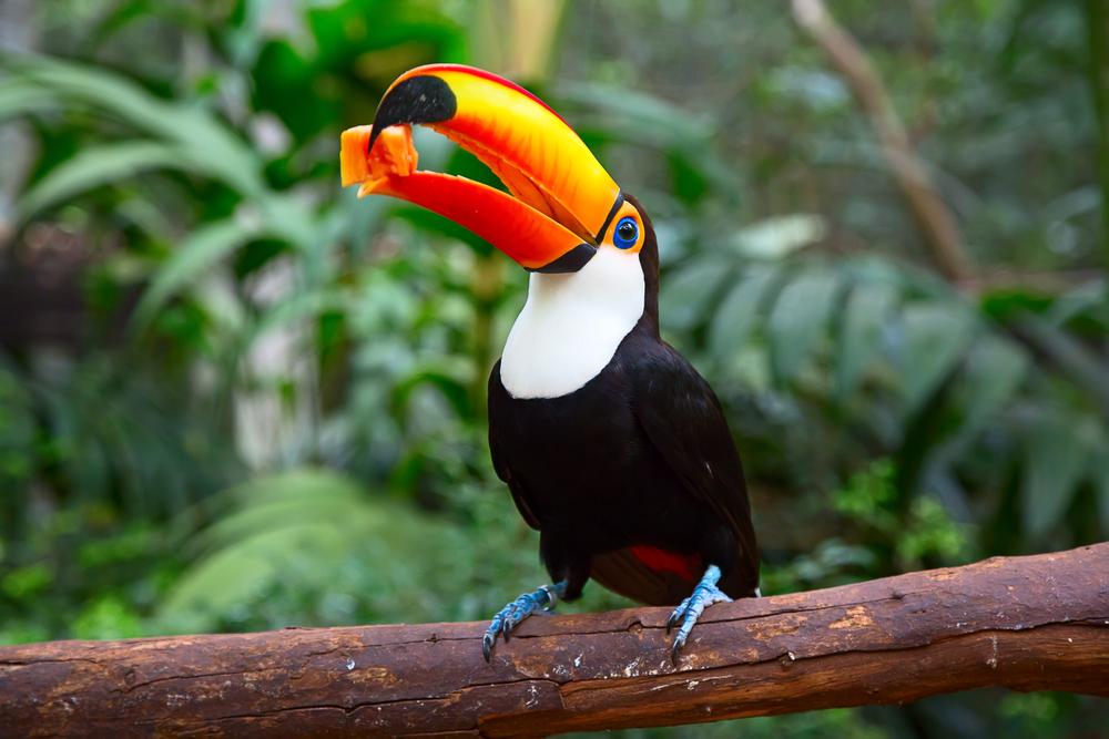 Amazonie couleurs du bec de Toucan