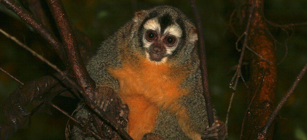 Amazonie petit singe la nuit
