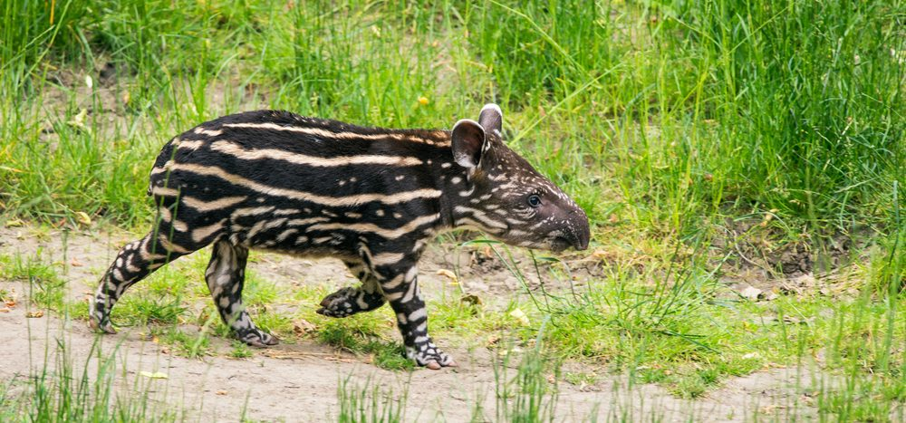 animal sauvage Pantanal