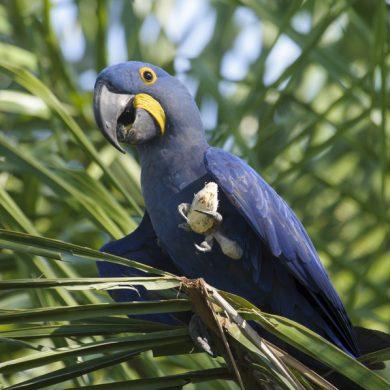 ara bleu Pantanal