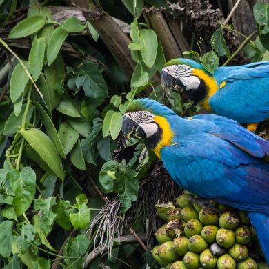 couple d'araras Pantanal
