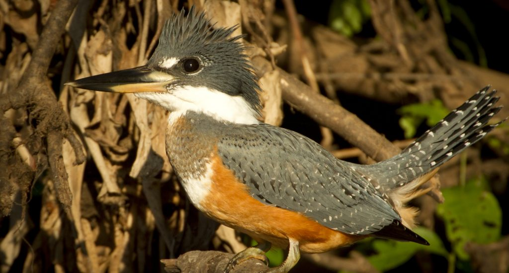 oiseau de nuit Pantanal
