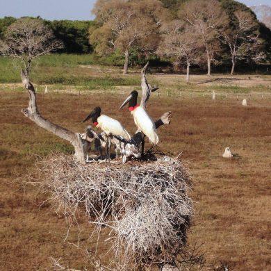 Pantanal deux échassiers sur leur nid