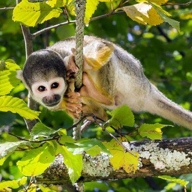 Amazonie Petit singe sur une corde
