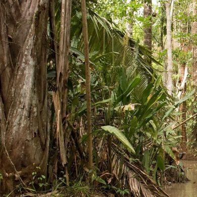 Arbre à lianes Amazonie
