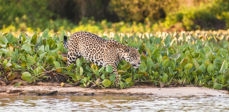 jaguar marchant dans plantes aquatiques