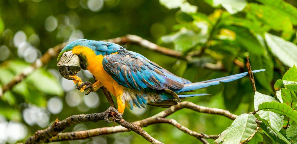 perroquet sur sa branche Brésil