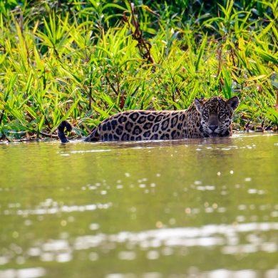 jaguar chasse rivière Nord Pantanal
