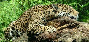 Pantanal jaguar faisant la sieste