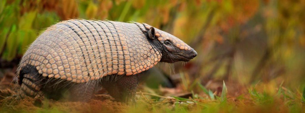 Tatu Pantanal