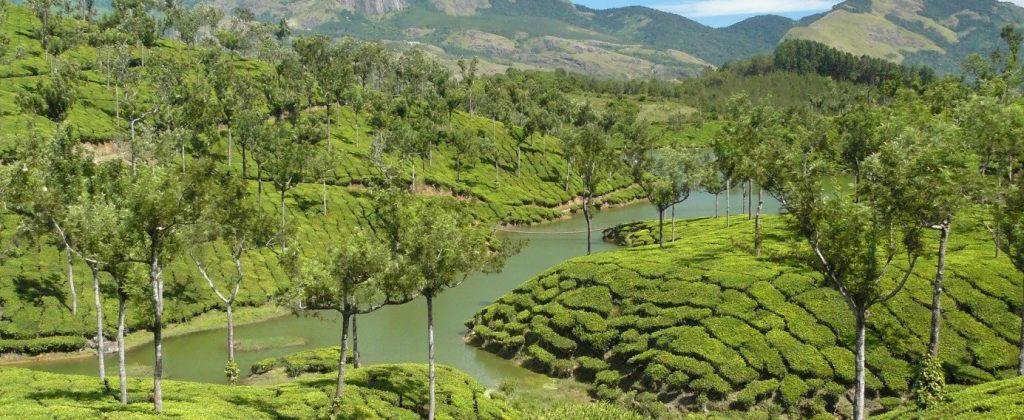 champs de thé en inde