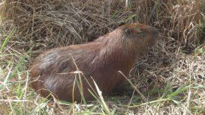 Capivara en liberté au Pantanal