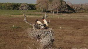 Nid d'oiseaux au Pantanal avec parents et bébés