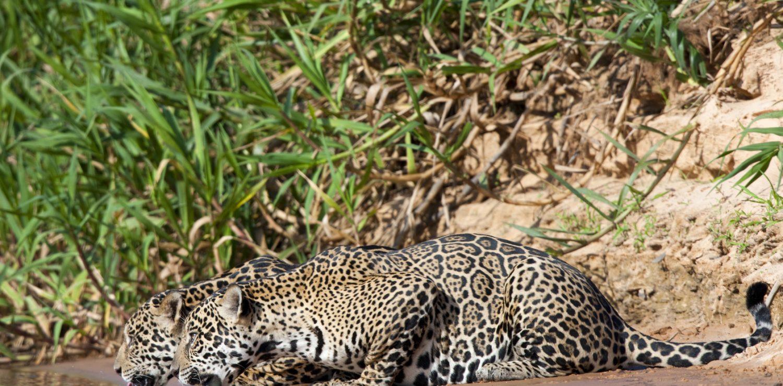 pantanal deux jaguars se desalterant