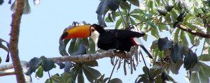 pantanal-toucan-installe-sur-une-branche