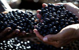 Fruits açaï dans les mains d'une personne