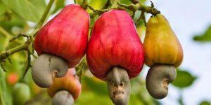 Fruits de caju sur un arbre